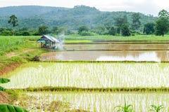 Przeszczepów ryż rozsady Zdjęcia Royalty Free