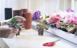 Przeszczep kwitnie w garnkach Kobiety ` s wręcza trzymać kwiatu który przeflancowywa w glebowej ekologii ochronie Obraz Stock