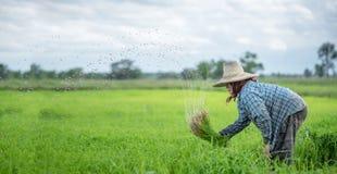 Przeszczep ryżowe rozsady w ryżu polu, rolnik są wycofanym rozsady i kopnięcia ziemi prztyczkiem r w irlandczyka polu Przed, gosp obrazy royalty free
