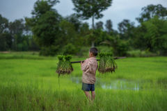 Przeszczep ryżowe rozsady w ryżu polu, rolnik są wycofanym rozsady i kopnięcia ziemi prztyczkiem r w irlandczyka polu Przed, gosp Zdjęcia Royalty Free