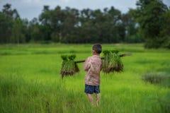 Przeszczep ryżowe rozsady w ryżu polu, rolnik są wycofanym rozsady i kopnięcia ziemi prztyczkiem r w irlandczyka polu Przed, gosp Obraz Royalty Free