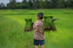 Przeszczep ryżowe rozsady w ryżu polu, rolnik są wycofanym rozsady i kopnięcia ziemi prztyczkiem r w irlandczyka polu Przed, gosp Obraz Stock
