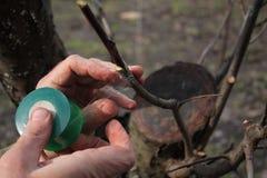Przeszczepiać owocowego drzewa w rozpadlinie używać rozcięcie Ogrodniczka używa kopulizaci taśmy zbliżenie obraz stock