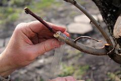 Przeszczepiać owocowego drzewa w rozpadlinie używać rozcięcie Ogrodniczka używa kopulizaci taśmy zbliżenie obraz royalty free