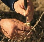 Przeszczepiać owocowego drzewa z starymi pracowitymi rękami Zdjęcie Royalty Free