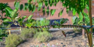 Przeszczepiający młody jabłoni Malus domestica obraz stock