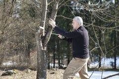 W połowie starzejący się mężczyzna ogrodniczki piłowanie, ciie owocowego drzewa Zdjęcia Stock
