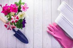Przeszczepianie petunie pojęcia ogrodnictwo Obrazy Royalty Free
