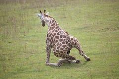 Przeszkadzająca żyrafa Obraz Royalty Free