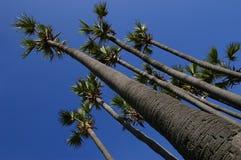 przewagi palm tree Obrazy Stock