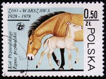 Przewalski母马和马驹,华沙动物园,大约1978年 库存照片