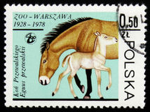 Przewalski母马和马驹,大约1978年 免版税库存照片