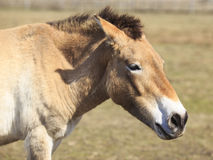 Przewalski马的画象 库存照片