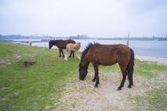 Przewalski hästar i en natur parkerar Arkivfoton