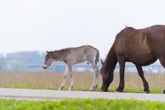 Przewalski hästar med fölet Royaltyfria Bilder