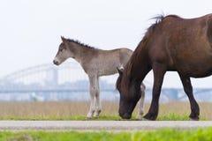 Przewalski hästar med fölet Royaltyfri Bild