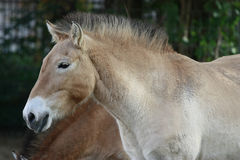 Przewalski horse. Outdoor portrait of a Przewalski horse (Equus przewalski poliakov). This rare breed also known as Asian or Mongolian horse is the last Stock Image