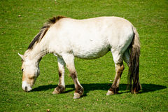 Przewalski horse. On a field of grass Royalty Free Stock Images