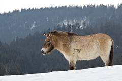 Przewalski horse Royalty Free Stock Photography