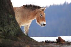 Przewalski horse Stock Photos