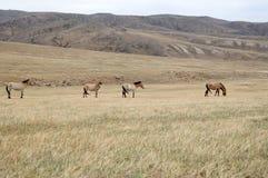 Przewalski horse Royalty Free Stock Photography