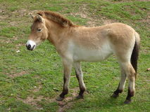 Przewalski Horse. A Przewalski horse standing and looking at something out of picture Royalty Free Stock Photos