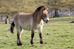 The Przewalski horse, also Takhi, Asian wild horse or Mongolian wild horse called, is the only subspecies of the wild horse which Royalty Free Stock Photo