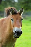 The Przewalski horse, also Takhi, Asian wild horse or Mongolian wild horse called, is the only subspecies of the wild horse which Stock Photo