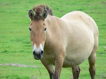 The Przewalski horse, also Takhi, Asian wild horse or Mongolian wild horse called, is the only subspecies of the wild horse which Royalty Free Stock Image