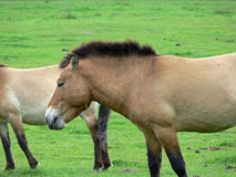The Przewalski horse, also Takhi, Asian wild horse or Mongolian wild horse called, is the only subspecies of the wild horse which Stock Photos