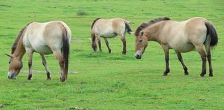 The Przewalski horse, also Takhi, Asian wild horse or Mongolian wild horse called, is the only subspecies of the wild horse which Royalty Free Stock Photos
