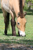 The Przewalski horse, also Takhi, Asian wild horse or Mongolian wild horse called, is the only subspecies of the wild horse which Royalty Free Stock Images