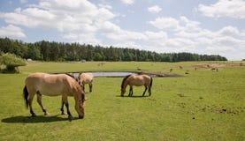 Przewalski Horse at captive breeding Royalty Free Stock Photo