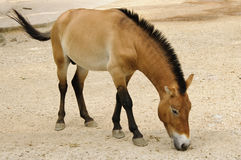 Przewalski horse in captivity stock photos