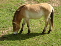 Przewalski Horse Cropping Grass 1 Royalty Free Stock Photo