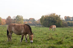 Przewalski horse. Przewalski horse eating grass in grass field Stock Photography