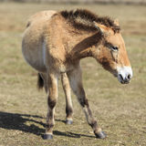 Przewalski horse frontal Royalty Free Stock Photo