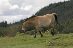 Przewalski horse grazing on grass as portrait or with background, adults and juvenile. Prezewalski horses grazing on grass as portraits or with background of Stock Image