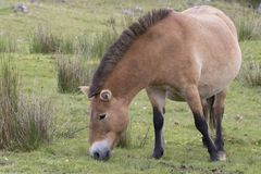 Przewalski horse grazing on grass as portrait or with background, adults and juvenile. Prezewalski horses grazing on grass as portraits or with background of Stock Photo