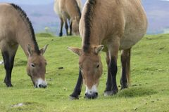 Przewalski horse grazing on grass as portrait or with background, adults and juvenile. Prezewalski horses grazing on grass as portraits or with background of Royalty Free Stock Images