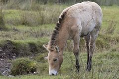 Przewalski horse grazing on grass as portrait or with background, adults and juvenile. Royalty Free Stock Photo