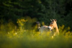 Free Przewalski Horse Grazing On A Meadow Stock Image - 114138461