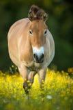 Przewalski horse on a lovely meadow Stock Image