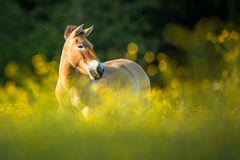 Przewalski horse  on a lovely meadow Royalty Free Stock Photography