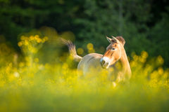 Przewalski horse  on a lovely meadow Stock Photography