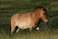 A Przewalski horse Royalty Free Stock Images