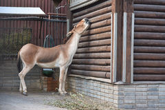 Przewalski horse near the log house Stock Photos