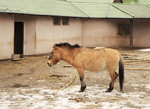 Przewalski horse is in the paddock Stock Image