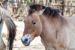 Przewalski horse Stock Photography