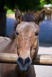 Przewalski horse Royalty Free Stock Photos